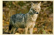 Jackal, Nagarhole Wildlife Sanctuary