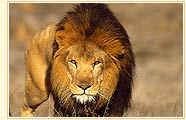 Lion in Gir National Park
