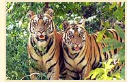Tigers, Corbett National Park