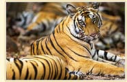 Tigers in National Park, Bandhavgarh